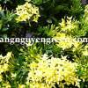 Cây Trang Thái