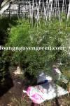 Cây Thiên Môn Đông