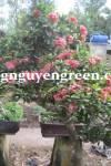 Cây Trang Thái Hồng