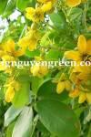 Cây Muồng Hoa Vàng