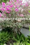 Cây Tuyết Sơn Phi Hồng