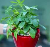 Cây ngũ gia bì có độc không? Có nên trồng cây ngũ gia bì trong nhà?