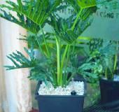 Cây trầu bà thanh xuân có độc không? Có nên trồng trong nhà?
