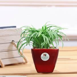 Cây cỏ Lan Chi để bàn