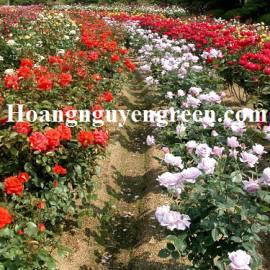 Cây Hoa Hồng Gốc - Đà Lạt