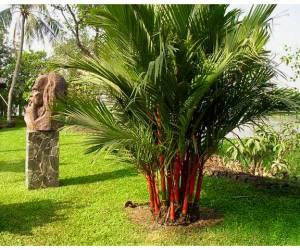 Cây cau đỏ có tác dụng gì? có nên trồng cây đa búp đỏ trong nhà