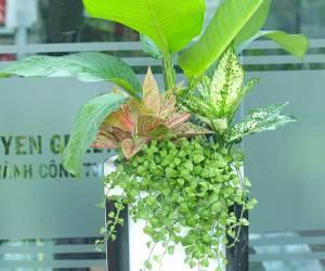 Cách trồng và chăm sóc cây đại phú gia
