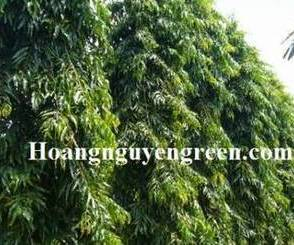 Cây Hoàng Nam, một loại thảo dược tốt