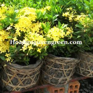 Cây Trang Thái Vàng