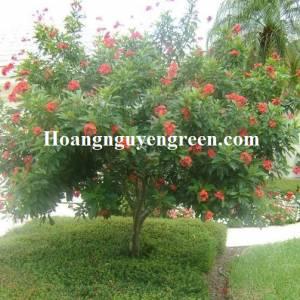 Cây Hồng Mai