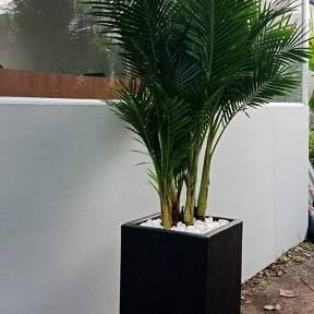 Cây Cau Nhật