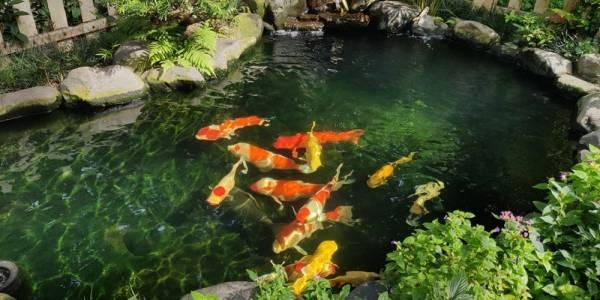 11 lợi ích không tưởng khi sở hữu hồ cá Koi trong nhà