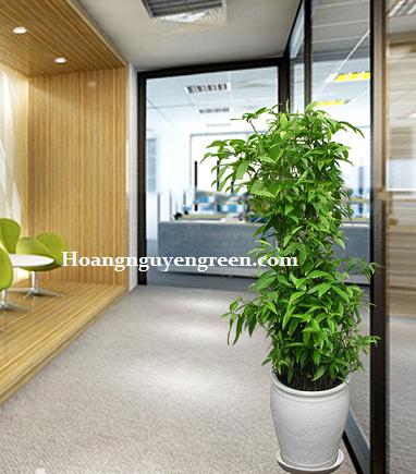 Cho thuê cây cảnh văn phòng - Cây Trúc Nhật