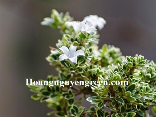 Cây Bạch Tuyết Mai