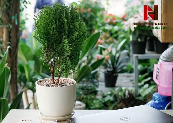 Cho thuê cây cảnh cây xanh văn phòng - Cây trắc bách diệp