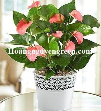 cho thuê cây hoa hồng môn