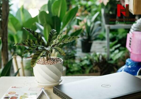 Bảng giá cho thuê cây cảnh  - Cây đuôi phụng