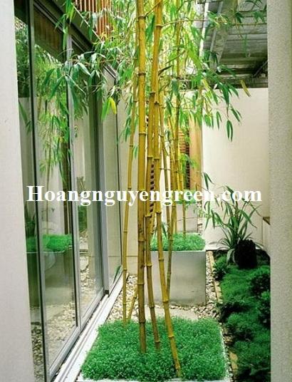 Bán cây tre vàng sọc công trình