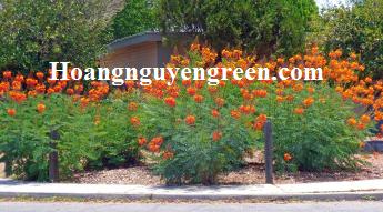 Cây kim phượng trồng viền