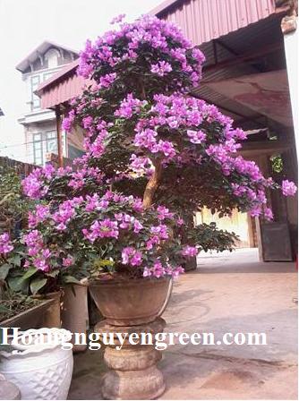 Cây bông giấy trồng chậu