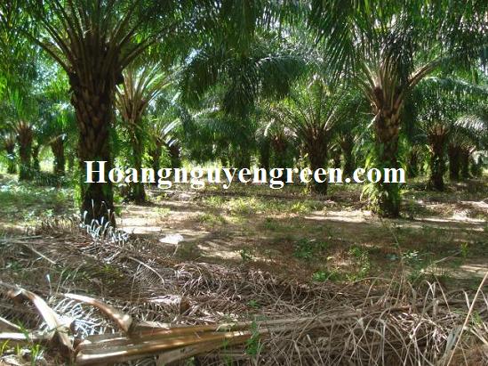 Chăm sóc cây cọ dầu