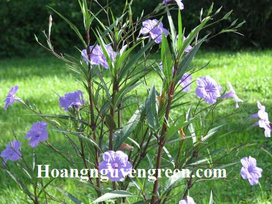 Cây hoa chiều tím trồng viền