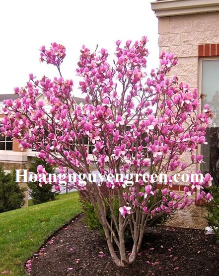 Cây hoa mộc lan đẹp rẻ
