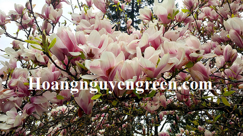 Cây hoa mộc lan trồng viền
