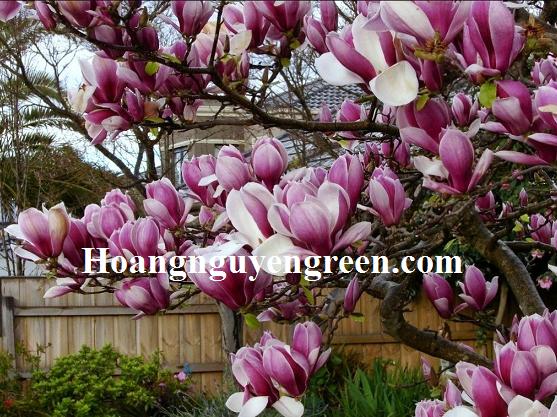 Cây hoa mộc lan rẻ đẹp