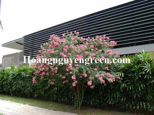 Cây hoa tường vy công trình