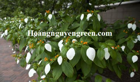 Cây ngọc mai trồng viền