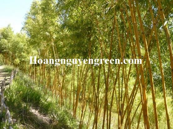 Cây tre vàng sọc công trình đẹp