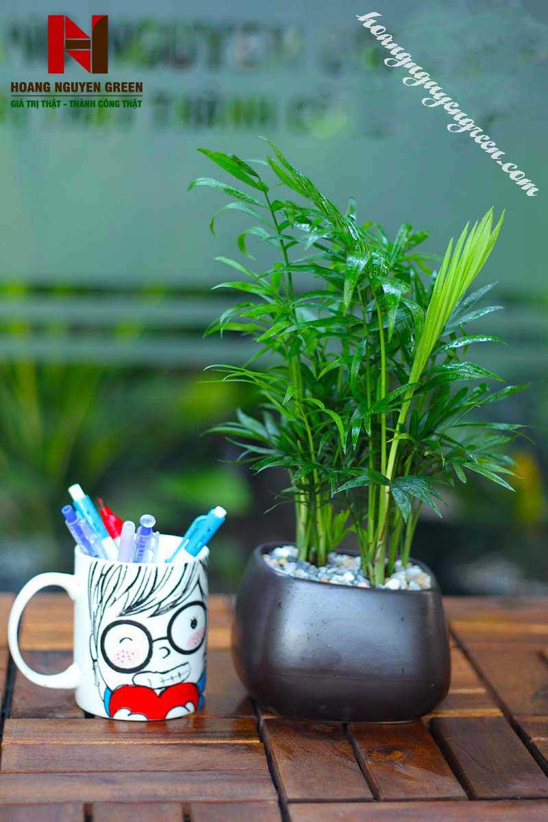cây cau tiểu trâm phong thủy
