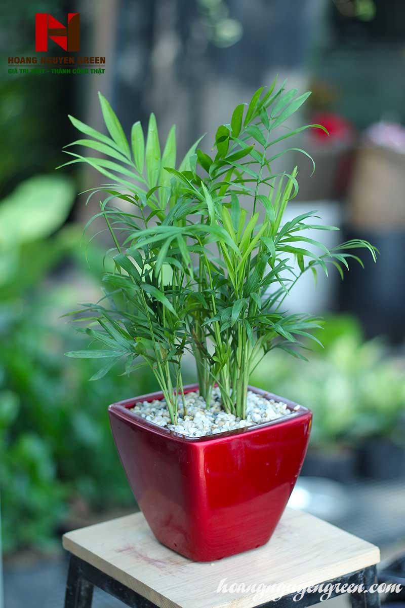 Cách trồng và chăm sóc cây cau tiểu trâm