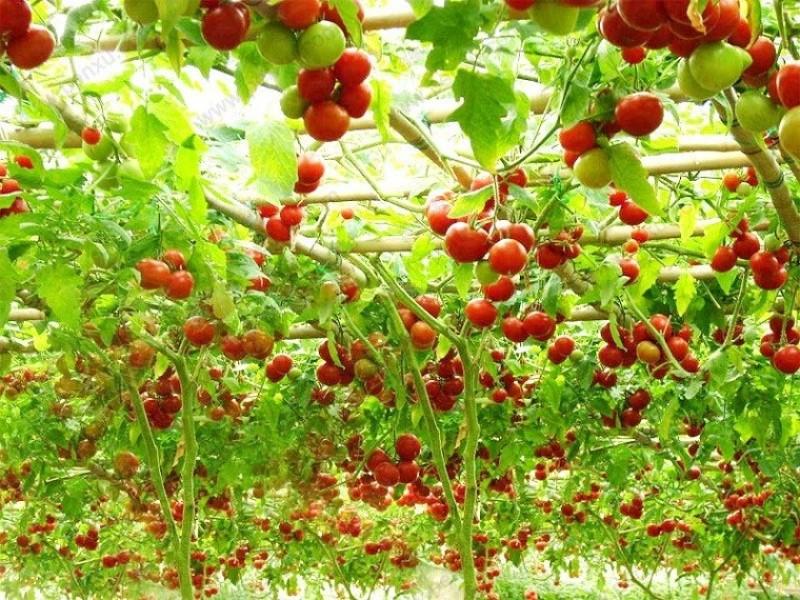 cây dây leo ăn quả