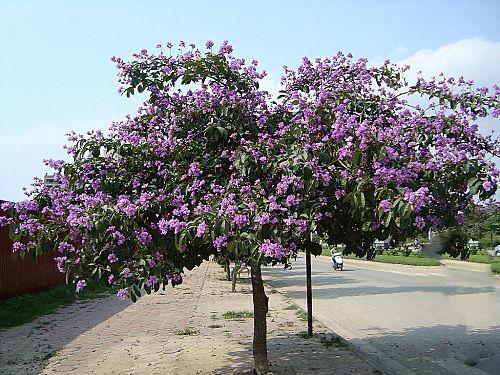 cây bằng lăng tím