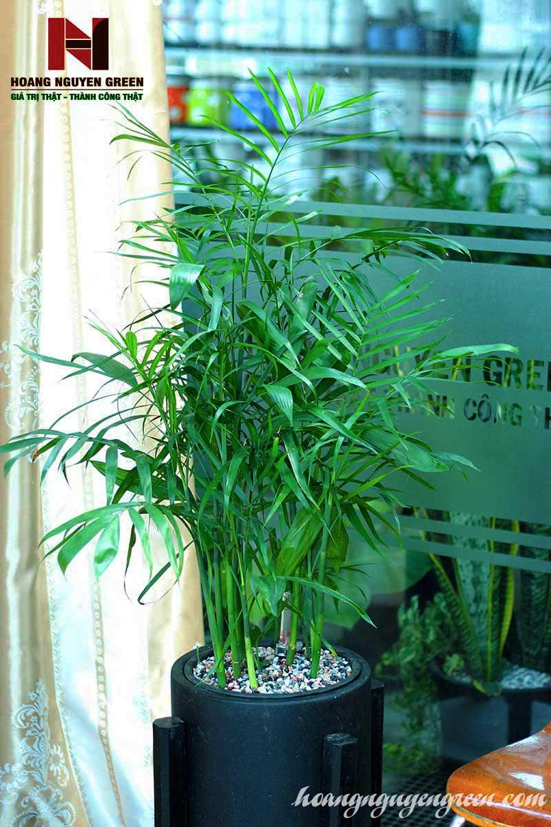 cây cau hawai rẻ và đẹp