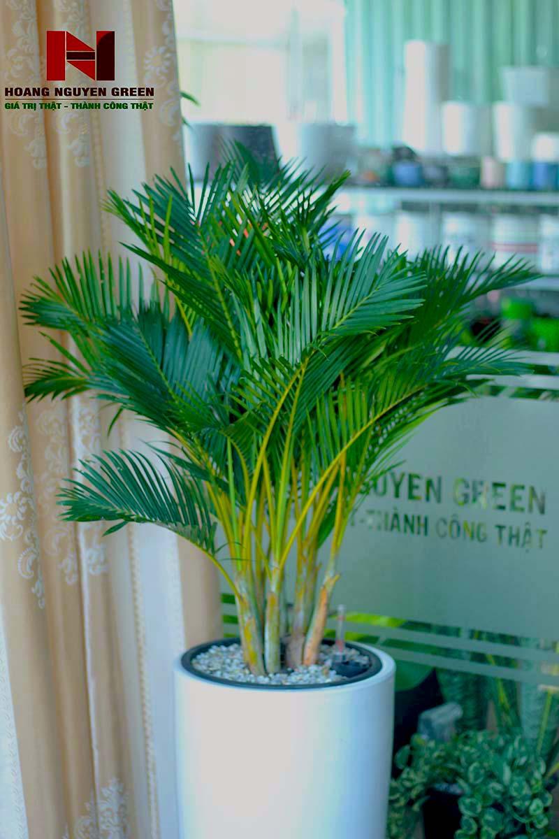 cây cau nhật để văn phòng