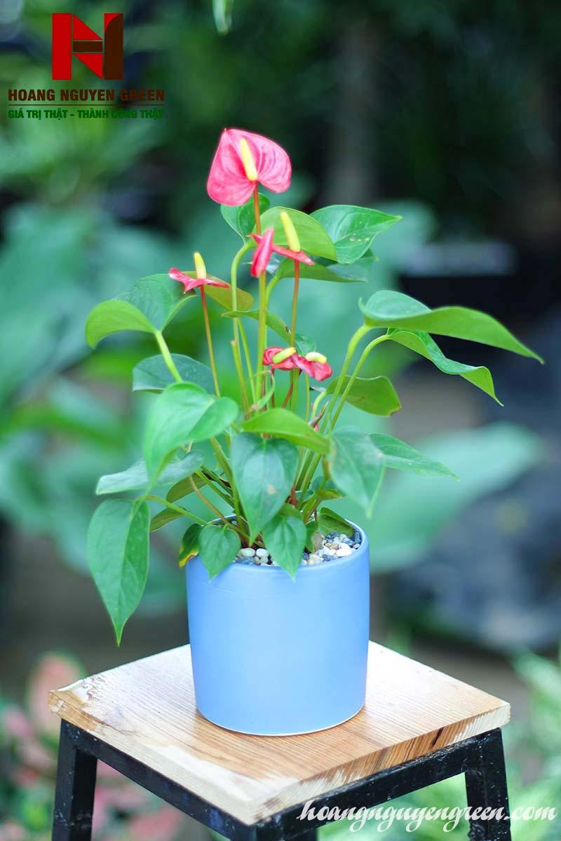 cây hồng môn cao cấp