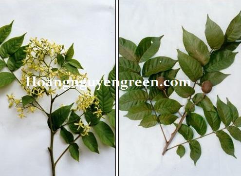 Cây lát hoa