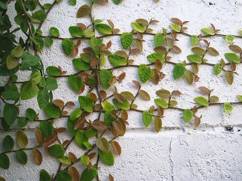 cây leo tường