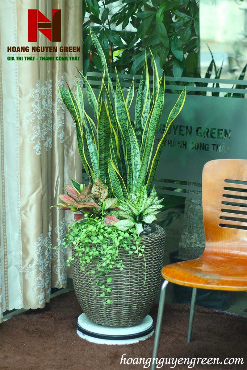 có nên trồng cây lưỡi hổ trong nhà