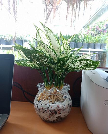 cây ngọc ngân thủy sinh để bàn