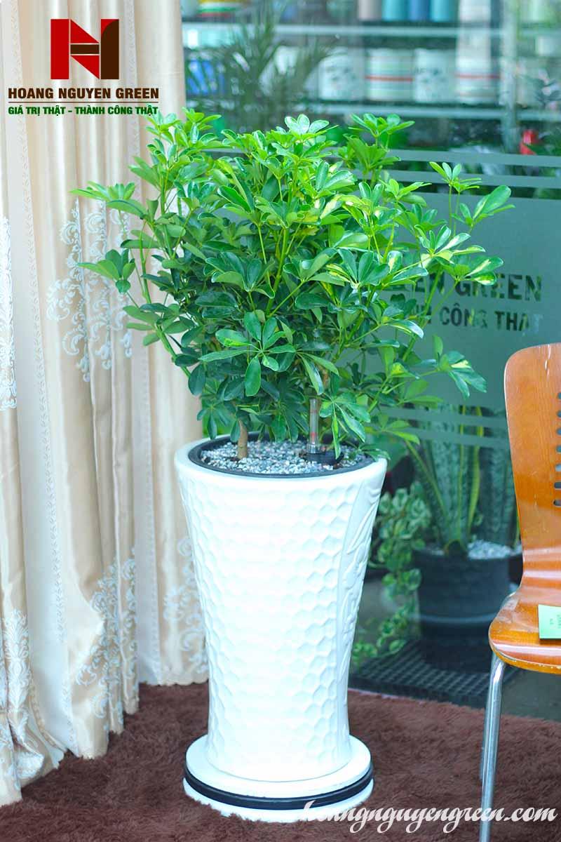 cây ngũ gia bì nội thất