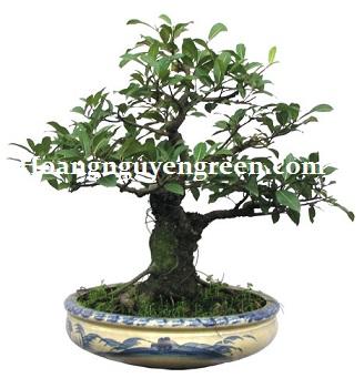 cây sộp bonsai