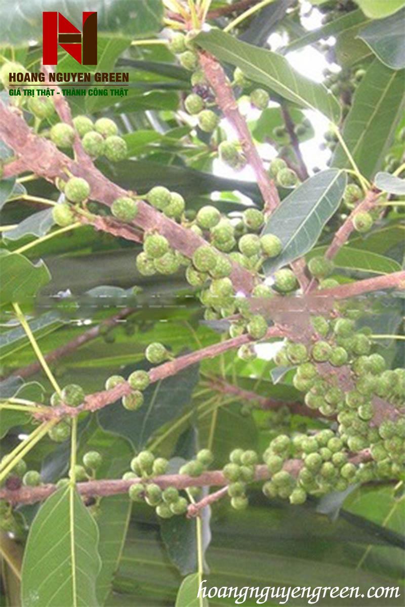 cây sộp làm thuốc