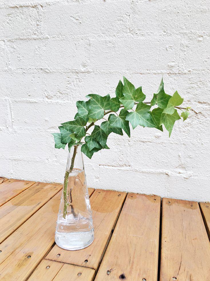 Cây thường xuân trồng trong nước