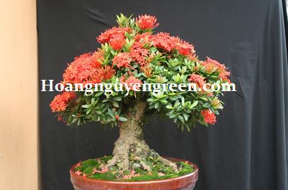 Cây trang thái đỏ