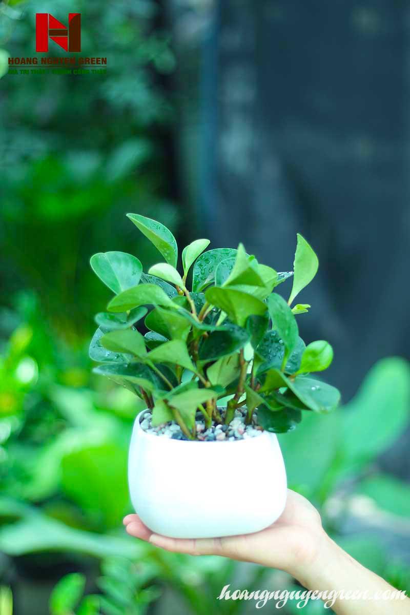 cây trường sinh xanh