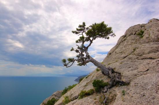 cây tùng mọc trên vùng núi cao